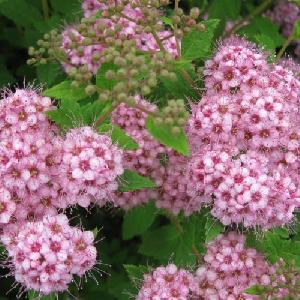 Спирея японская (Spiraea japonica Little Princess) С1,5