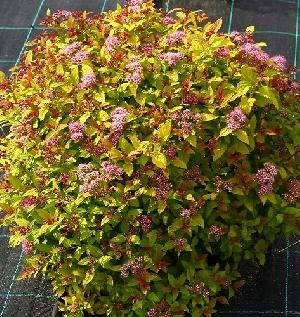 Спирея японская (Spiraea japonica Magic Carpet) С 4,5; 40 · 50