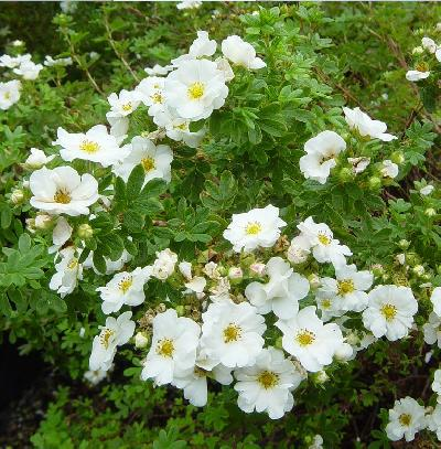 Лапчатка кустарниковая (Potentilla fruticosa Mount Everest) С2